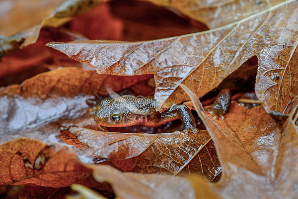 Rough-skinned Newt (Taricha granulosa) among fallen fall big-leaf maple leaves.  Pacific Northwest. November.
