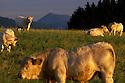 05/10/04 - COMBRAILLES - PUY DE DOME - FRANCE - Charolaises dans le bocage Bourbonnais - Photo Jerome CHABANNE