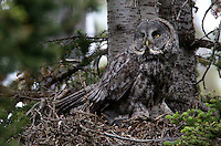 The Great Grey Owl (Strix nebulosa) is a very large owl, distributed across the Northern Hemisphere, but difficult to find. In some areas it is also called the Great Gray Ghost, Phantom of the north. <br />