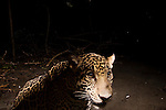 Jaguar (Panthera onca) yearling male cub on beach at night, Coastal Jaguar Conservation Project, Tortuguero National Park, Costa Rica