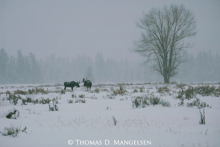 Two bull moose in a snowy field in Grand Teton National Park, Wyoming.