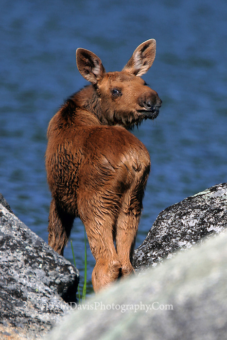 #M17 Moose Calf with Attitude