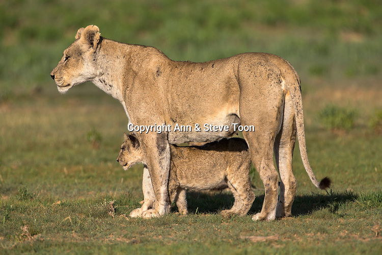 Lioness (Panthera leo) with cub, Kgalagadi transfrontier park, Northern Cape, South Africa, February 2017