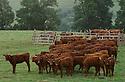 20/07/06 - TRIZAC - CANTAL - FRANCE - Traite de Salers en estive pour la fabrication de fromage AOC, Salers Tradition - Photo Jerome CHABANNE