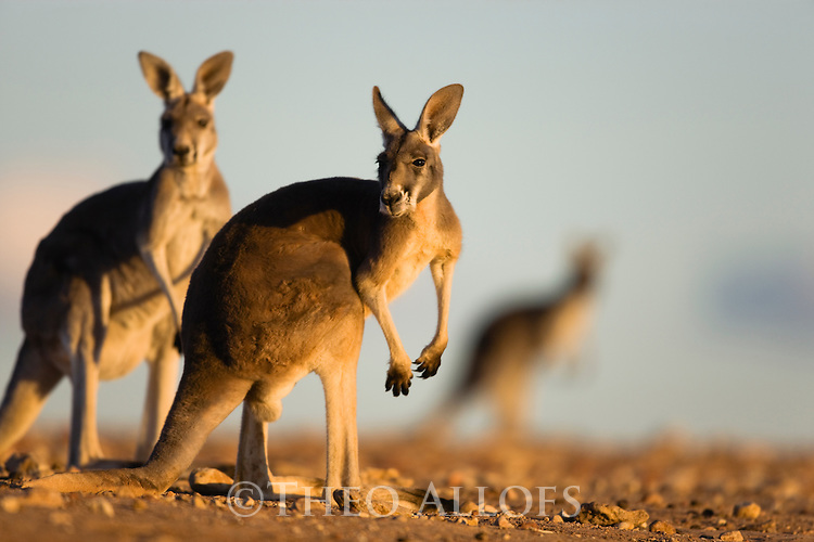 Australia,  NSW, Sturt National Park; red kangaroos (Macropus rufus); the red kangaroo population increased dramatically after the recent rains in the previous 3 years following 8 years of drought