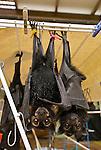 Tolga Bat Hospital -Spectacled Flying Fox (Pteropus conspicillatus)