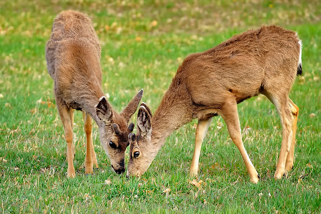 Two fawns eating grass together in Cherry Creek State Park near Denver, Colorado