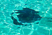 Sting ray in shallow reef,    Antigua, Lesser Antilles, Caribbean Sea