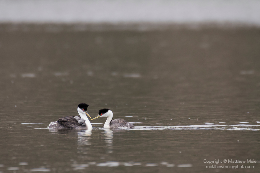 Lake Hodges, Escondido, San Diego, California; a mating pair of Western Grebes (Aechmophorus occidentalis), with two chicks tucked under the feathers on the mother's back, are tended to by the father while swimming across the surface of the lake