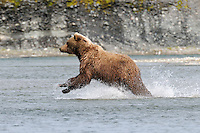 A brown bear takes off running after she spots a salmon in a tidal lagoon in Alaska's McNeil River State Game Sanctuary.