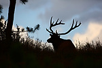 Rocky Mountain Bull Elk at Sunrise
