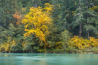 Umpqua National Forest, OR: Big leaf maple in fall along the shore of the North Umpqua River