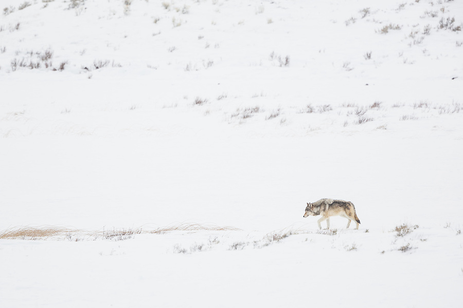 A single gray wolf stands in the snow looking behind a hill in Yellowstone National Park.