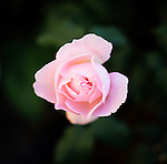 A pink rose in the garden of Suzinn Weiss in Portland, OR