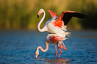 Greater Flamingos (Phoenicopterus roseus) in lagoon, mating, Pont Du Gau, Camargue, France