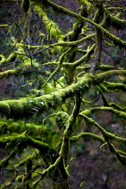 Moss on Branches, Columbia River Gorge, Oregon, Color