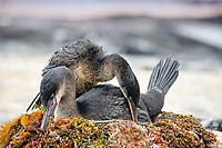 flightless cormorant, or Galapagos cormorant, Phalacrocorax harrisi, couple, breeding, nest, Punta Espinoza, Fernandina Island, Galapagos Islands, Ecuador, Pacific Ocean