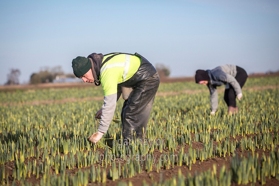First cropping of new season daffodils - Lincolnshire, January; people; migrant workers; labour; gang; seasonal labour