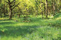 Springtime, Sallochy Woods, Loch Lomond and the Trossachs National Park