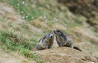 Alpine Marmot, Marmota marmota, adults at burrow, Ritom, Switzerland, June 2001