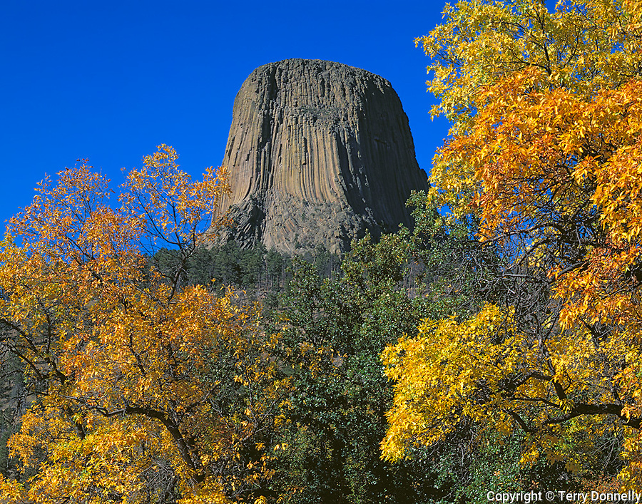 Devil's Tower National Monument, WY<br /> Golden cottonwood branches frame the south face of Devil's Tower in afternoon sun