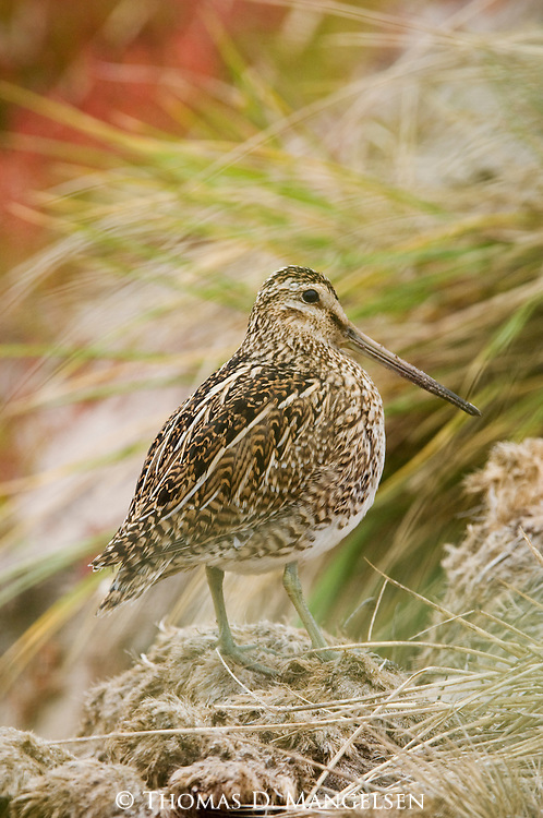 Portrait of a magellanic snipe on Carcass Island in the Falkland Islands.