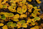 A close relative of the myrtle beech, the decidous beach is southern australia's only native winter decidous tree. Autumn colors in the tasmanian mountains are a blaze of gold, orange and deep red before the leaves fall and leave the bush bare over winter.