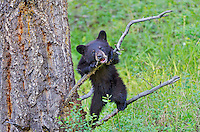 "Wild Black Bear (Ursus americanus) cub playing with/on tree branch.  Western U.S., spring. (This is what is known as a ""coy""--cub of the year.)"
