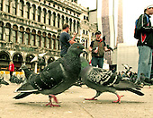 Venice, Italy - March 24, 2006 -- Pigeons in the Piazza San Marco in Venice, Italy on March 24, 2006.  Tourists buy bags of bread crumbs from vendors in the piazza to attract the pigeons..Credit: Ron Sachs / CNP