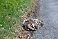 Dead European badger (Meles meles) at the side of a road, North Yorkshire.