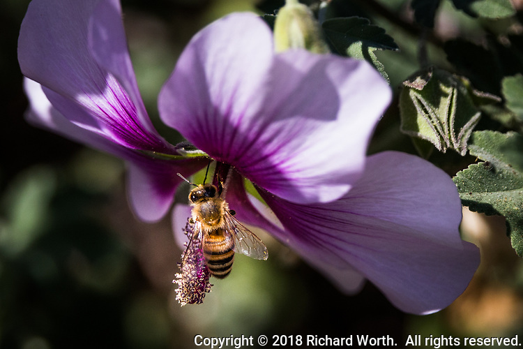 Dusted in pollen and searching for more, a bee explores a flower on the first day of fall, 2018