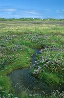 Salzwiese, Salzwiesen auf Norderney, Nordsee. Gewöhnlicher Strandflieder, Halligflieder, Meerlavendel, Limonium vulgare, Marsh Rosemary, Sea Lavender, Sea-Lavender