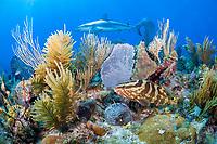 Caribbean reef shark, Carcharhinus pereziii, and Nassau grouper, Epinephelus striatus, endangered species, coral reef, Gardens of the Queen, Jardines de la Reina, Jardines de la Reina National Park, Cuba, Caribbean Sea, Atlantic Ocean