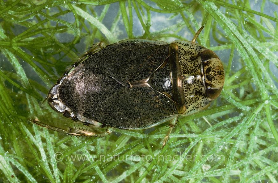 Schwimmwanze, Schwimm-Wanze, Ilyocoris cimicoides, syn. Naucoris cimicoides, creeping water bug, saucer bug, saucer-bug