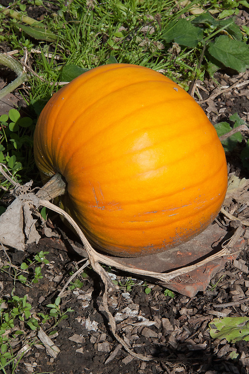 Pumpkin 'Connecticut Field', late September. An heirloom squash, widely regarded as the original Halloween pumpkin.