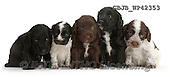 Kim, ANIMALS, REALISTISCHE TIERE, ANIMALES REALISTICOS, fondless, photos,+Five Cocker Spaniel puppies sitting in a row,++++,GBJBWP42353,#a#