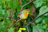 Red Billed Leiothrix (Leiothrix lutea)  Introduced from Asia, found on all of the major Hawaiian Islands