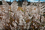 Phragmites at the marsh at Quivett Creek in Dennis, Cape Cod, MA, USA