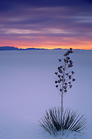 Soaptree yucca <br />