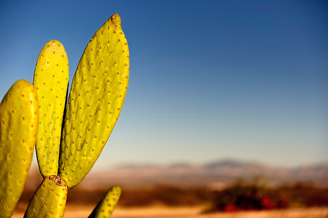 Prickly pear cactus with mountain background in Benson, Arizona