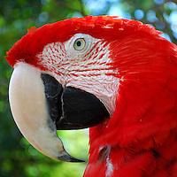 Animais. Aves. Arara vermelha (Ara macau). Foto de Reinaldo Minillo.