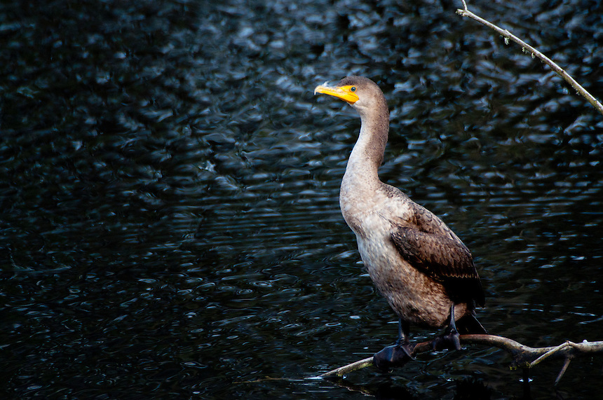 Immature Double-Crested Cormorant (Phalacrocorax auritus) at Black Lake, Ilwaco, Washington, US
