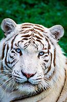 white tiger, a pigmentation variant of the Bengal tiger, Panthera tigris tigris, endangered species, India, Asia