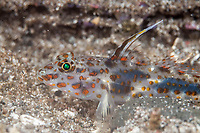 Blotched Goby, Coryphopterus inframaculatus, with erect fin, The Brewery dive site, Lembata Island, East Flores, Indonesia, Pacific Ocean