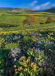 Columbia Hills State Park, WA: Columbia Gorge National Scenic Area, Folds of the Columbia Hills with Garry oak (Quercus garryana) and wildflowers including balsamroot, lupine and phlox