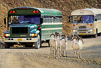 Dall sheep rams walk along the Denali Park road as tourists watch from buses.