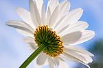 White Daisy Blossom