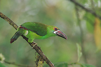 Crimson-rumped Toucanet (Aulacorhynchus haematopygus), adult perched,Mindo, Ecuador, Andes, South America