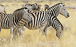 Along with the Cape Mountain Zebra, both are threatened species in Namibia and surrounding regions.