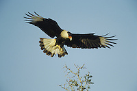 Crested Caracara (Caracara plancus), adult landing on bush, Starr County, Rio Grande Valley, Texas, USA